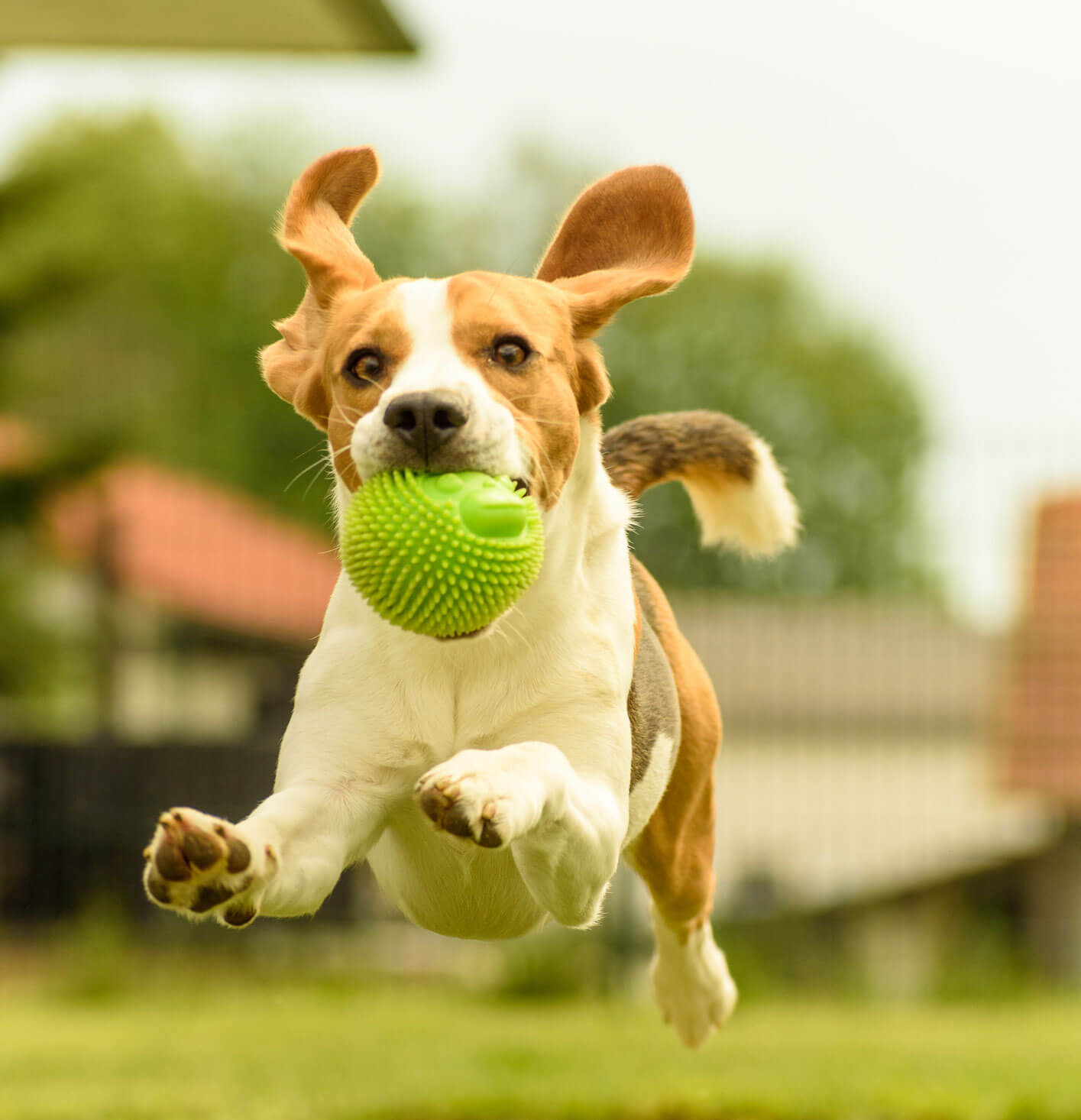 Happy dog jumping with ball